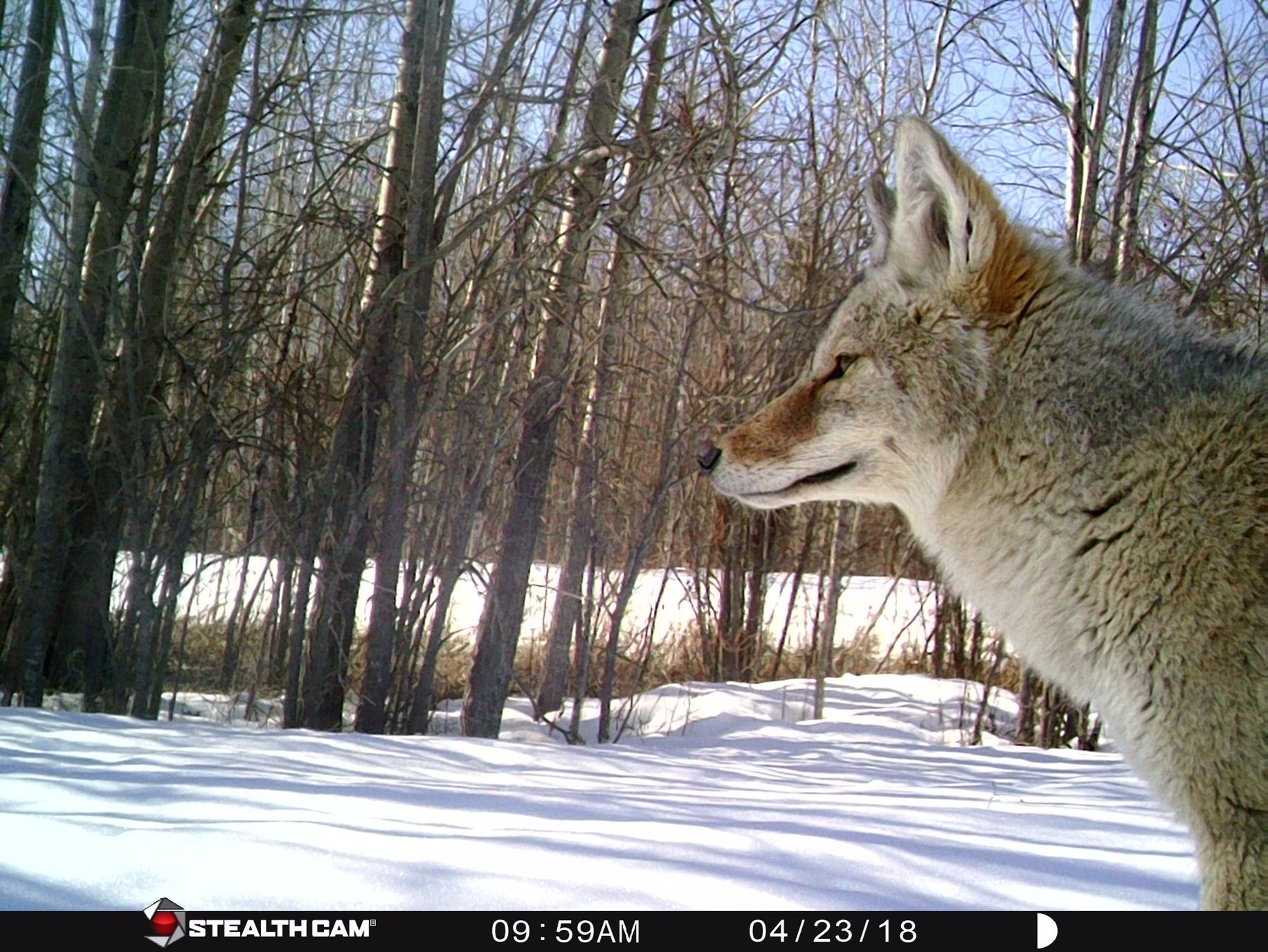 mr coyote